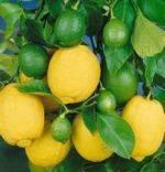 Сорт лимон Павловский