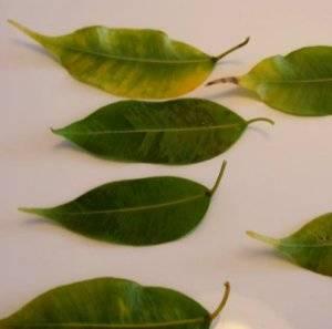 Листья фикуса бенджамина желтеют при сухом воздухе
