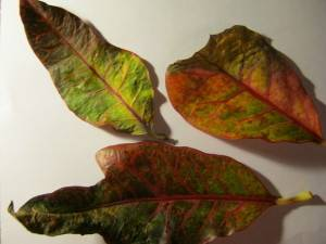 Больные листья кротона
