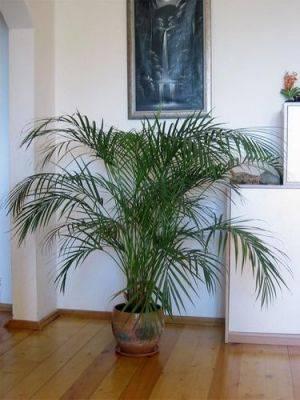 Пальма арека в интерьере