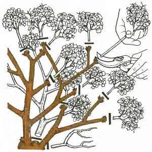 Побеги гортензии после цветения необходимо обрезать до половины длины