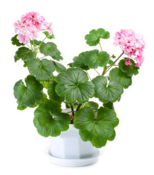 Женское счастье цветок польза и вред