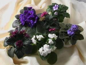 Синполия очень разнообразна по видам и цветам