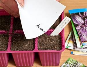 Как вырастить базилик дома?