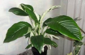 Тропическое растение спатифиллум любит влагу