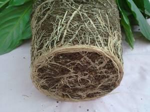 Своевременная пересадка спатифиллума обеспечит быстрый рост и развитие растения