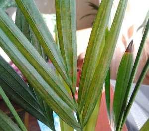 Сухие листья у пальмы ареки