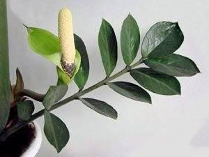 Цветущий замиокулькас может сбросить цветы