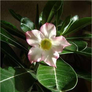 Адениум цветение