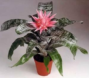 Уход за эхмеей позволяет выарщивать в своем саду аутентичное растение