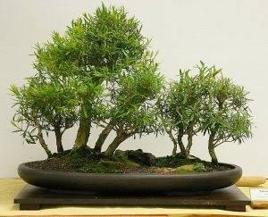 Каллистемон Myrtaceae