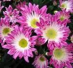 хризантема китайская