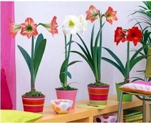 Гиппеаструм разных цветов