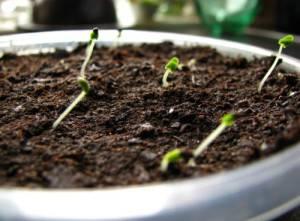 Лаванда из семян