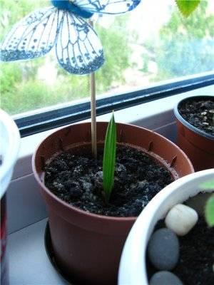 Хамеропс размножение семенами