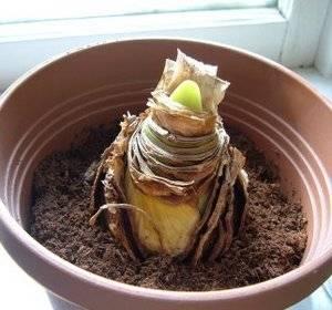 Луковица амариллиса должна выглядывать из горшка