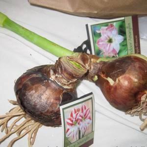 Луковицы амариллиса ядовиты