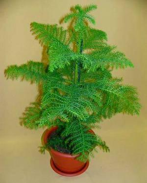 Араукария может стать домашней елкой к новому году