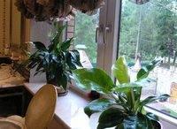 Выращиваем болотные растения семейства ароидных в домашних условиях