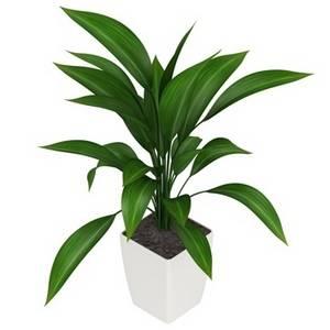 Аспидистра вечнозеленое растение