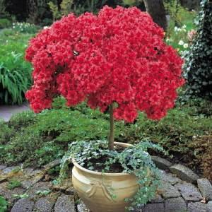 Азалия - рододендрон на свежем воздухе