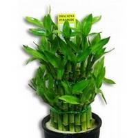 Бамбук можно выращивать в почве и в воде