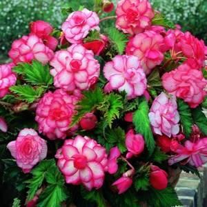 Бегония розовоцветная вошла в историю растения первой