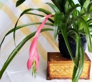 Бильбергия экзотическое декоративное растение