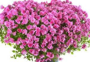 Хризантема красивое и полезное растение
