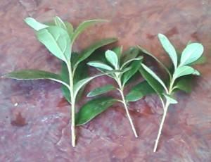 Размножение черенками рододендрона (азалии)