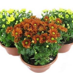 Ухаживать за хризантемой в домашнем саду очень легко