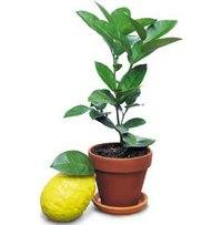 Надлежащий уход за комнатным лимоном обеспечит ароматными плодами к чаю
