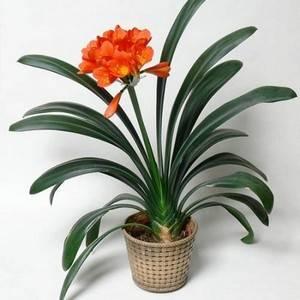 Кливия привередливое луковичное растение