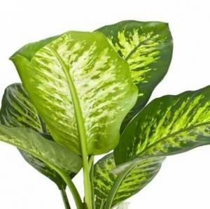 Пожелтение листьев диффенбахии может быть признаком неправильного ухода