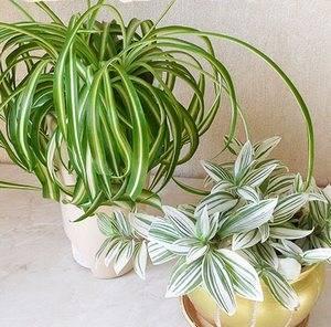 Хлорофитум популярное домашнее растение