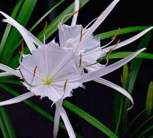 Цветы гименокаллиса покоряют красотой