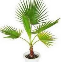 Для домашнего выращивания подходят некоторые виды комнатных пальм