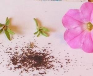Для выращивания петуний важно выбрать хорошие семена