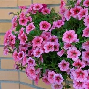 Петунию можно успешно культивировать из семян в своем домашнем саду