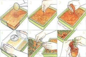 Хамедорея размножение семенами