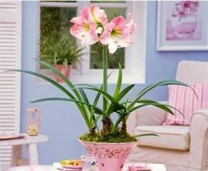 Гиппеаструм розовый в вазоне