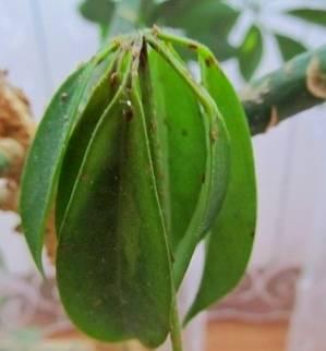 Растения быстро поражается щитовкой