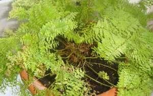 Нефролепис сохнут листья
