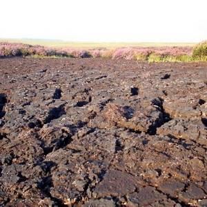 Традесканция произрастает на болотистых почвах