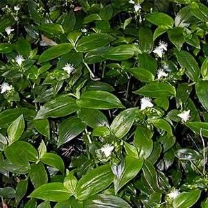В природных условиях традесканция это почвопокровное растение
