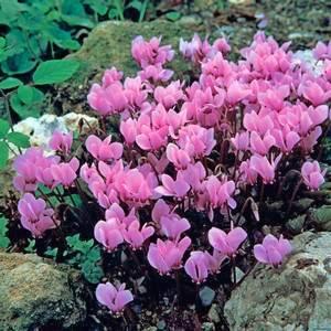 Цикламен растет на каменистых почвах