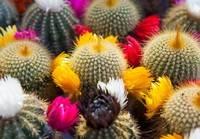 Кактусы цветение