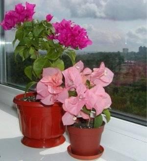 Бугенвиллия в вазоне на окне