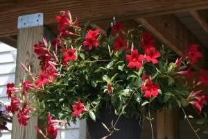 Дипладения в вазоне подвесном - цветение
