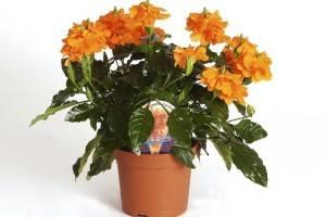 Кроссандра цветущая в вазоне